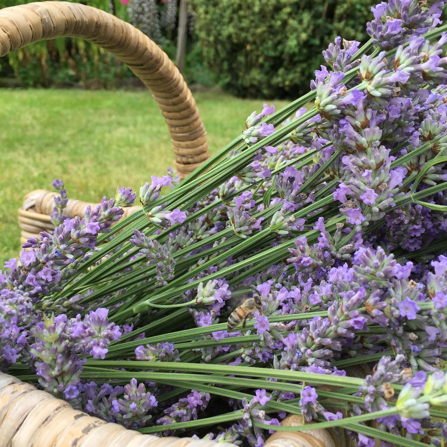Lavender harvest & How to take cuttings